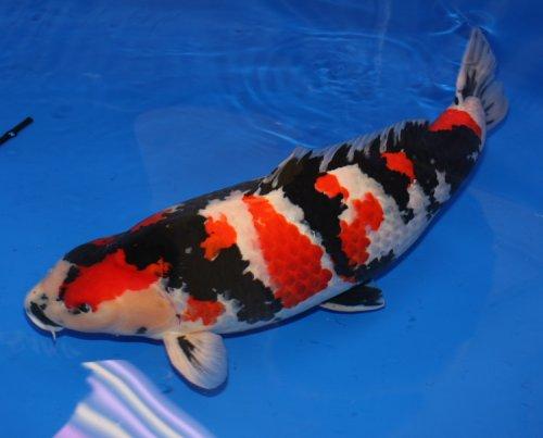 Build An Easy Koi Fish Pond